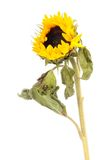 Flowers sunflower. Sunflower flowers to white background Stock Image