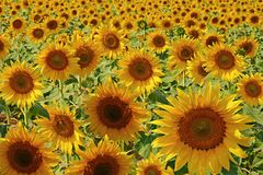 Flowers of a sunflower on a plantation. Royalty Free Stock Photography