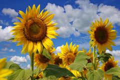 Flowers of a sunflower on a plantation Stock Photos