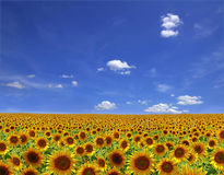 Flowers of a sunflower on a plantation Stock Photography