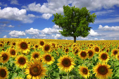 Flowers of a sunflower on a plantation Royalty Free Stock Images