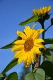 Flowers sunflowers. Against the dark blue sky Stock Image