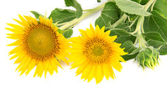 Flowers sunflowers Royalty Free Stock Images