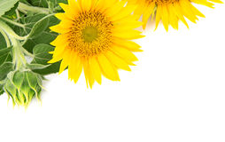 Flowers sunflowers Stock Photos