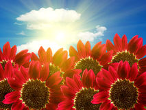 Flowers sunflowers decorative Royalty Free Stock Images