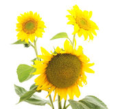 Flowers sunflowers. Stock Images
