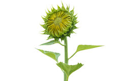 Flowers sunflowers on a white background1 Royalty Free Stock Photo