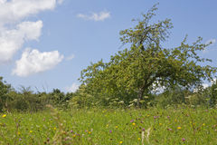 Appletree on meadow with flowers. Flowers on a sunny meadow with appletree Royalty Free Stock Photography