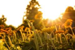 Flowers at sunrise Stock Photos