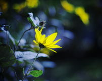 Flowers at sunrise with some bokeh. Colourful sunrise, yellow blossoms and bokeh Stock Images