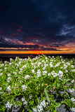 Flowers In Sunset Stock Images