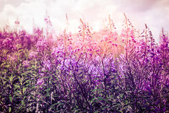 Flowers at sunset. On the meadow Stock Photo