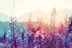 Flowers at sunset. With mountains at background Stock Photos