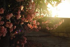 Flowers and sunset, nature. Beautiful pink flowers and sunset, nature Stock Photos