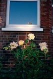 Flowers in sunshine in Brighton. Yellow roses are illuminated by sunshine in front of a typical British brick stone house Stock Photo