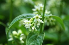 Flowers of a swallow-wort Stock Images