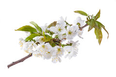 Flowers of a sweet cherry Royalty Free Stock Images