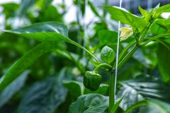 Flowers of sweet green bell peppers, paprika, growing in glass g. Reenhouse, bio farming in the Netherlands Royalty Free Stock Photos