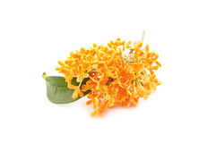 Flowers of sweet osmanthus Stock Image