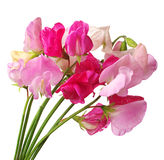 Flowers sweet pea Stock Photography