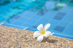 Flowers Swimming pool. Tropical flowers Swimming pool used as background Stock Image