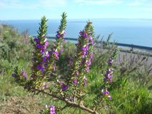 Flowers at Table Mountain,  Capetown,  South Africa Royalty Free Stock Photos