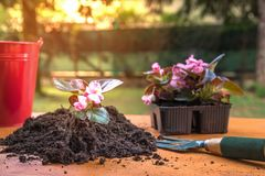 Flowers on a Table Ready to be Planted in a Pot royalty free stock photo