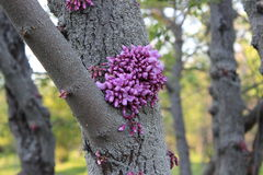 Flowers on the table wood. Cercis. Royalty Free Stock Photography