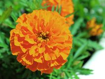 Flowers Tagetes patula close-up blurred stock image