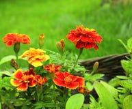 Flowers of Tagetes patula Stock Photos