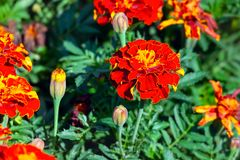 Flowers of Tagetes patula. In summer garden stock images