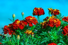 Flowers of Tagetes patula. In summer garden stock image