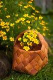 Flowers Tagetes Tenuifolia Yellow. Garden Flowers Tagetes Tenuifolia. Wicker Basket With Yellow Flowers Tagetes Tenoifoliya Closeup Royalty Free Stock Photos