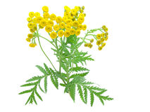 Flowers of tansy. Flowers of tansy isolated on a white background.  tanacetum Stock Photography
