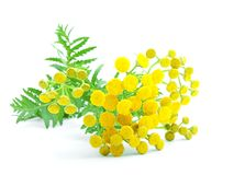 Flowers of tansy Royalty Free Stock Photos
