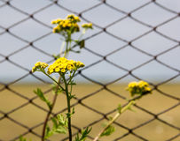 Flowers of tansy on a background grid. Tansy flowers on the background of the fence from the grid. Close-up Royalty Free Stock Photography