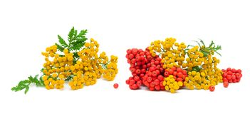 Flowers tansy and berries rowan on a white background. Horizontal photo royalty free stock photos