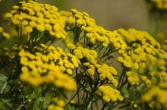 Flowers tansy ordinary. Bright yellow wildflowers close-up. Autumn Medicinal Plant royalty free stock photos