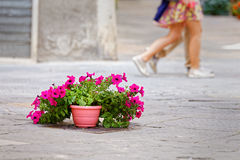 Flowers on the tarmac of Pienza, symbol environmental conflict Royalty Free Stock Image