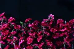 Flowers tea tree Stock Image