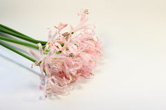 Flowers tenderness Royalty Free Stock Photos