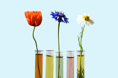 Flowers in test tubes. On blue royalty free stock photography