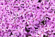 Flowers texture closeup. Small purple flowers texture closeup Royalty Free Stock Images