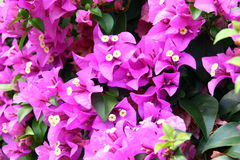 Flowers Thailand. Beautiful purple flowers from a tropical plant in Thailand Stock Image