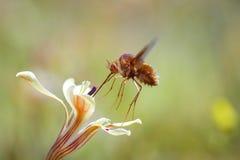 Adapted pollinator Stock Image