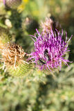 Flowers of thistle with beetle Royalty Free Stock Photography
