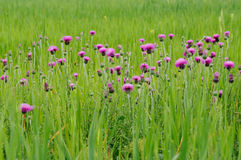 Flowers of thistle (lat. Carduus tauricus) on green medow Stock Images