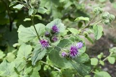 Flowers thistles. Plant burdock. Grass with large leaves. Flowers thistles. Plant burdock. Grass with large leaves royalty free stock photos