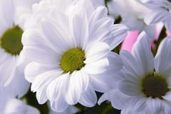 Beautifull chamomiles. Flowers three white beautifull chamomiles Royalty Free Stock Photos