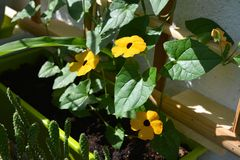 Flowers of Thunbergia in small garden on the balcony. Black-eyed Susan vine plant grows in flowerpot.  royalty free stock image